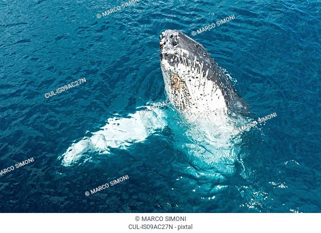 Humpback whale surfacing, Hervey Bay, Queensland, Australia