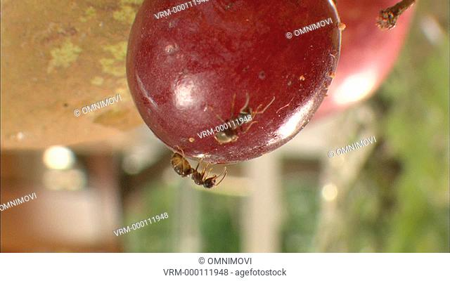 Two Whitefooted Garden Ants on underside of red grape