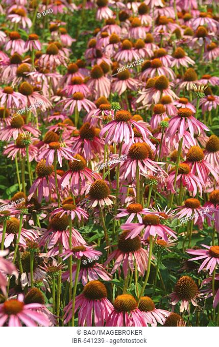 Field of Eastern Purple Coneflowers (Echinacea purpurea), medicinal plane
