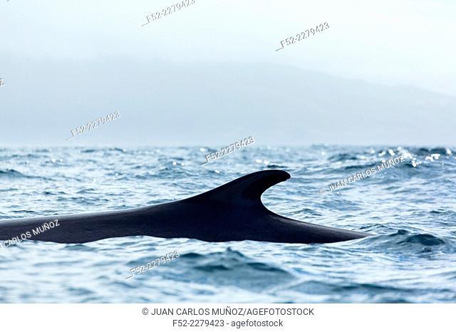 Whale, Azores Archipelago, Portugal, Europe
