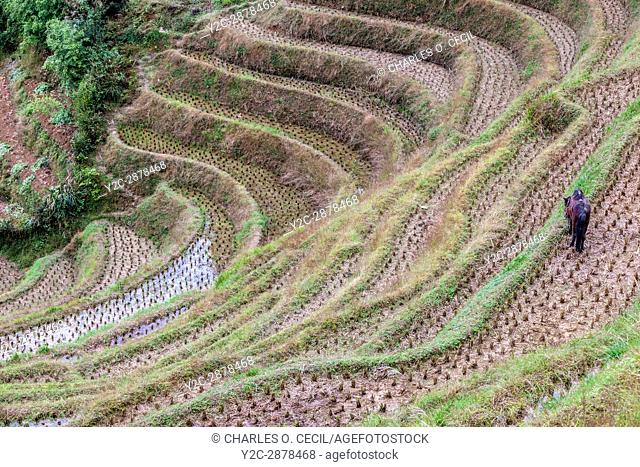 Longji, China. A Horse Grazes on the Edges of Narrow Terraced Rice Paddies after Harvest