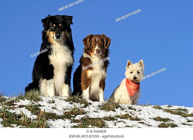 domestic dog Canis lupus f. familiaris, Australian Shepherd, Miniature Australian Shepherd and West Highland White Terrier Westie sitting side by side