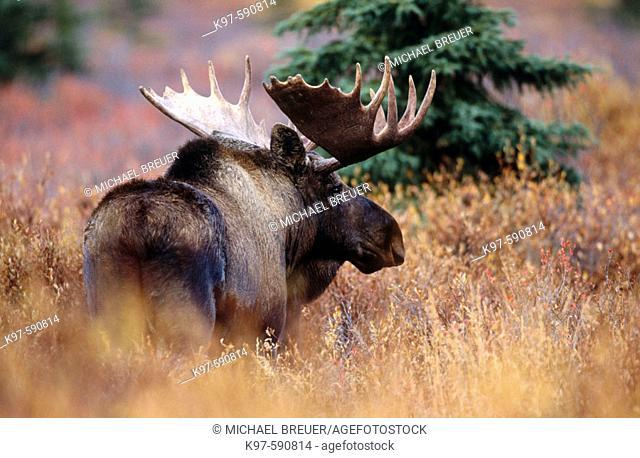 Bull Moose (Alces alces), Denali National Park. Alaska, USA