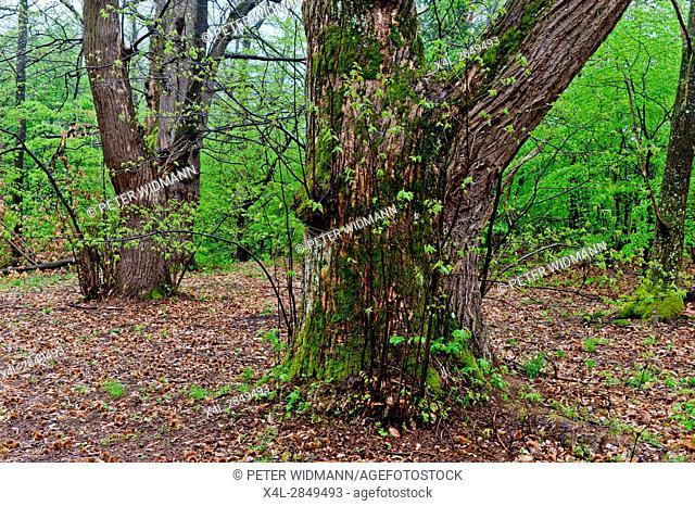 Castanea sativa, sweet chestnut, monumental tree in austria