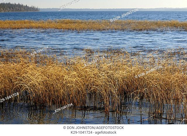 Reedbeds in Clear Lake, Riding Mountain National Park