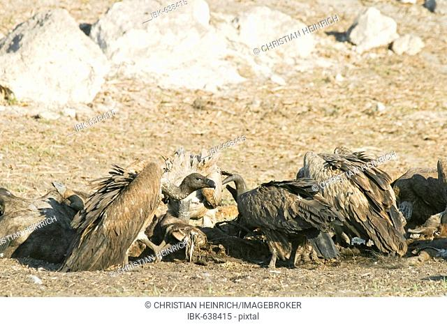 Cape Griffon or Cape Vulture (Gyps coprotheres) at a animal cadaver in the dry riverbed, Boteti River, Khumaga, Makgadikgadi Pans National Park, Botswana