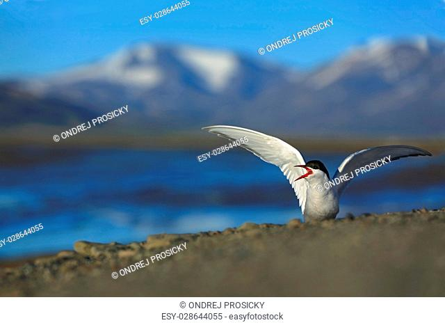 White bird with black cap, Arctic Tern, Sterna paradisaea