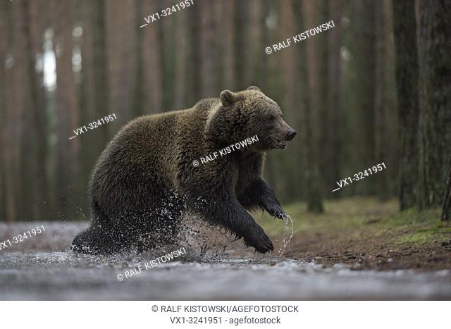 European Brown Bear ( Ursus arctos ), young cub, jumping through a frozen puddle in a forest, full of joy