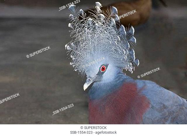 Close-up of a Victoria Crowned pigeon Goura victoria, New Guinea