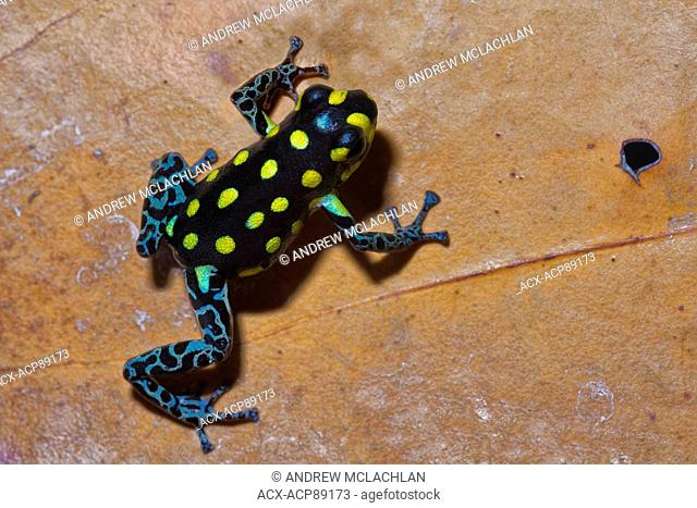 Ranitomeya vanzolinii - captive. This poison dart frog is endemic to Peru, Brazil, and Bolivia