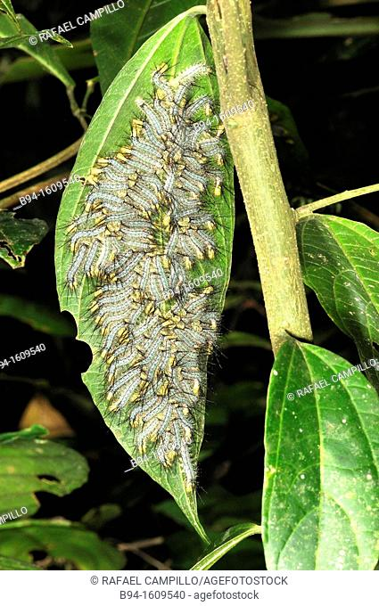 Caterpillars of Lepidoptera, Madidi National Park in the upper Amazon river basin in Bolivia