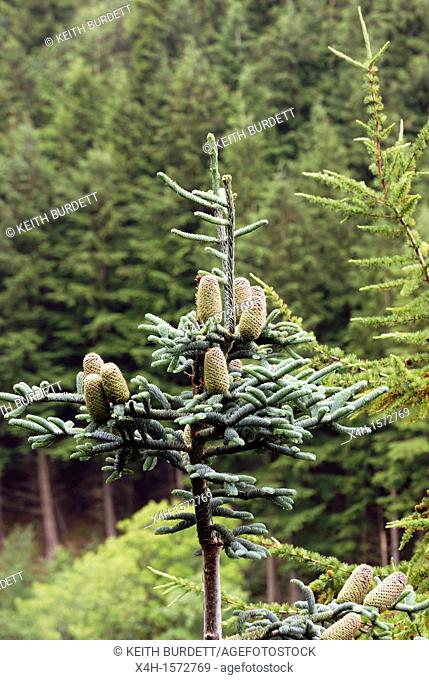 Abies procera, Noble Fir tree with cones in a mixed conifer plantation, Wales