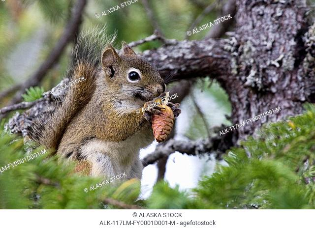 Closeup of Red Squirrel perched in spruce tree eating cone Kachemak Bay State Park Alaska Summer