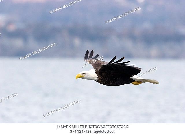 Bald Eagle (Haliaeetus leucocephalus) flight profile