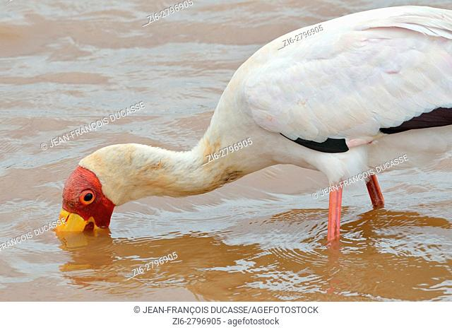 Yellow-billed stork (Mycteria ibis), searching for food, Sunset Dam, Kruger National Park, South Africa, Africa