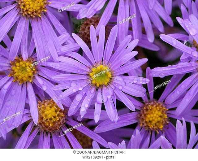 blossom of asters with raindrops