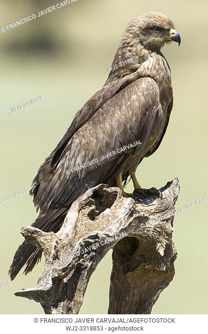 Black kite (Milvus migrans) perched on a trunk, in a meadow Extremadura, Spain