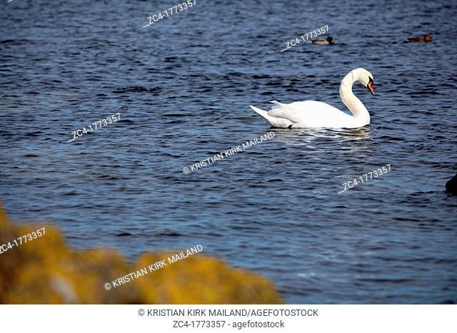Beautiful white swan in the Baltic Sea
