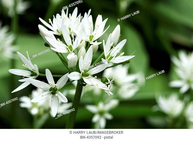 Flower of wild garlic (Allium ursinum), Baden-Württemberg, Germany