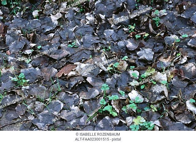 Wet dead leaves on ground