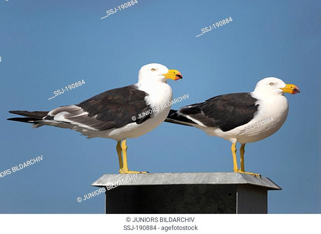 Pacific Gull (Larus pacificus). Two adults standing. Kangaroo Island, South Australia