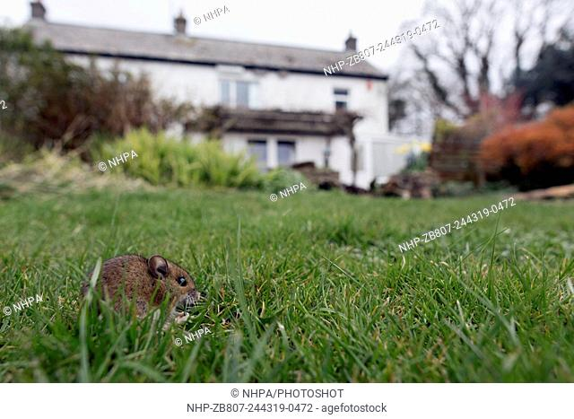Wood Mouse; Apodemus sylvaticus; in Garden; UK