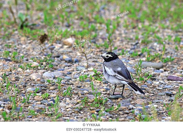 White wagtail - Motacilla alba is a small passerine bird in the wagtail family Motacillidae