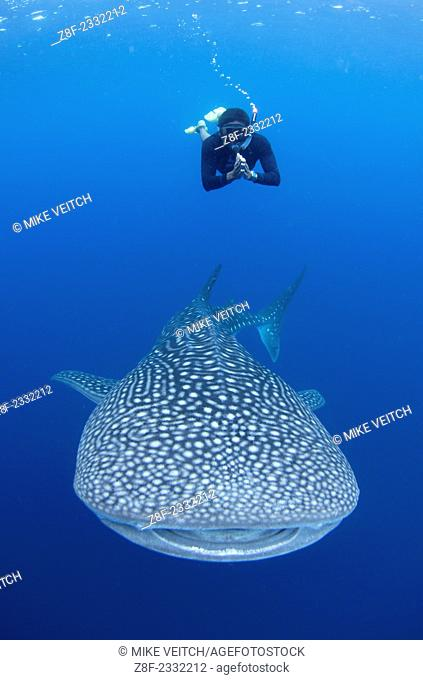 A snorkeler dives down with a whaleshark, Rhincodon typus, under a fishing platform, these sharks are friends with the fishermen who hand feed them at...