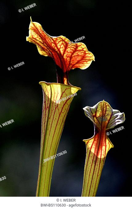 yellow pitcher plant, huntsman horn (Sarracenia flava), funnel leaf, entrance with cap