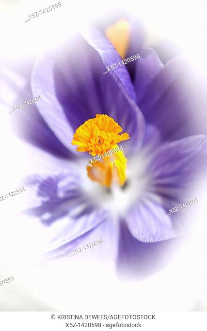 The center of a blooming Dutch Crocus with effects