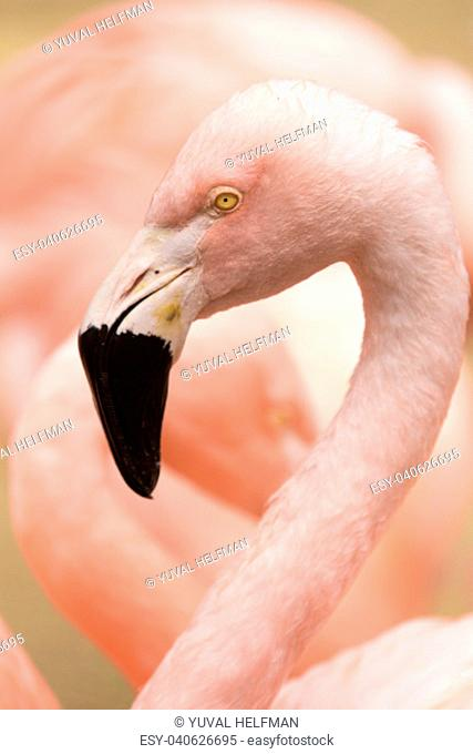 The Chilean flamingo (Phoenicopterus chilensis) is a large species of flamingo closely related to American flamingo and greater flamingo