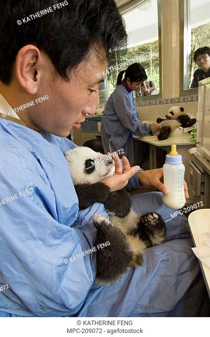 Giant Panda Ailuropoda melanoleuca researchers feeding cubs with a bottle in nursery while tourists watch, Wolong Nature Reserve, China