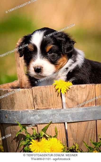 Australian Shepherd Puppy in wooden tub