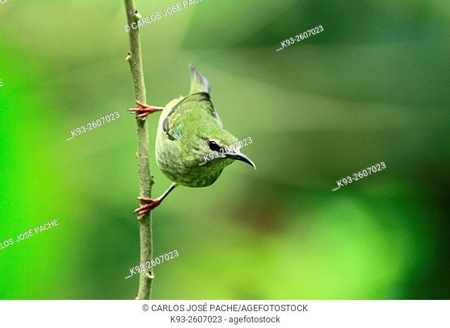 Mielero Patirrojo (Cyanerpes cyaneus) hembra, Costa Rica