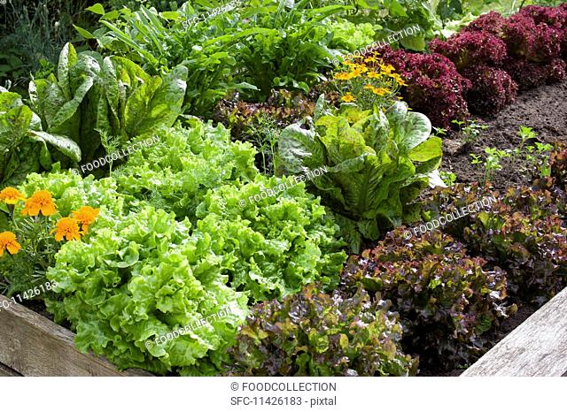 Marigolds and various red and green lettuces in a raised flower bed in a garden
