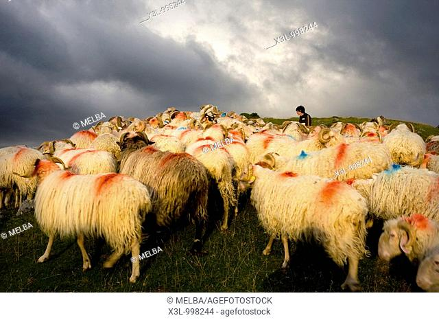 Flock of sheeps  Belagua valley  Navarra  Spain