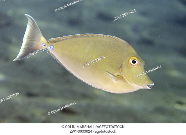 Bluespine Unicornfish (Naso unicornis), Liberty Wreck dive site, Tulamben, Bali, Indonesia