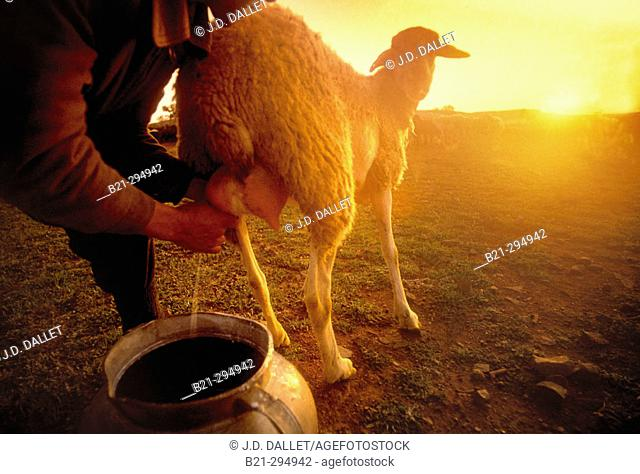 Milking sheep at sunrise. Moral de Calatrava. Ciudad Real province, Spain