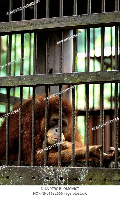Sumatran orangutan looking unhappy behind cage