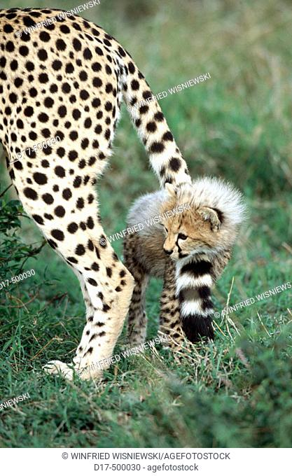 Cheetah cub (Acynonix jubatus), playing with it's mother's tail. Masai Mara Natural Reserve. Kenya