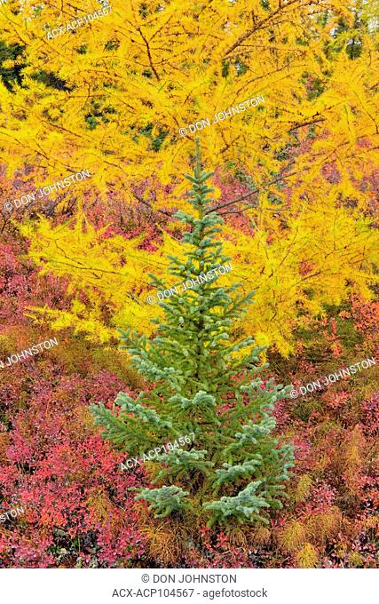 Barrenground vegetation in autumn near Ennadai Lake- black spruce, larch , Arctic Haven Lodge, Ennadai Lake, Nunavut, Canada