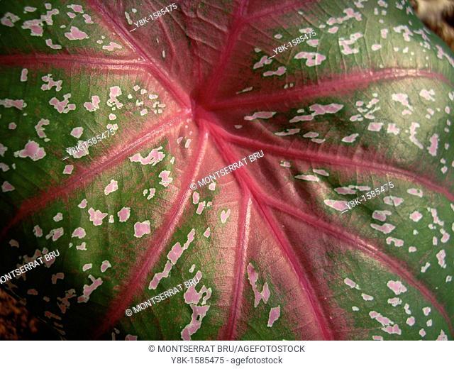 Caladium leaf closeup