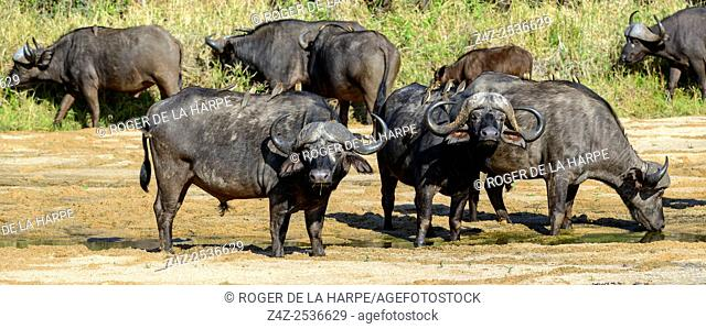 African buffalo, also know as Cape Buffalo (Syncerus caffer) drinking in Mbyamiti River. Southern Kruger National Park. Mpumalanga. South Africa