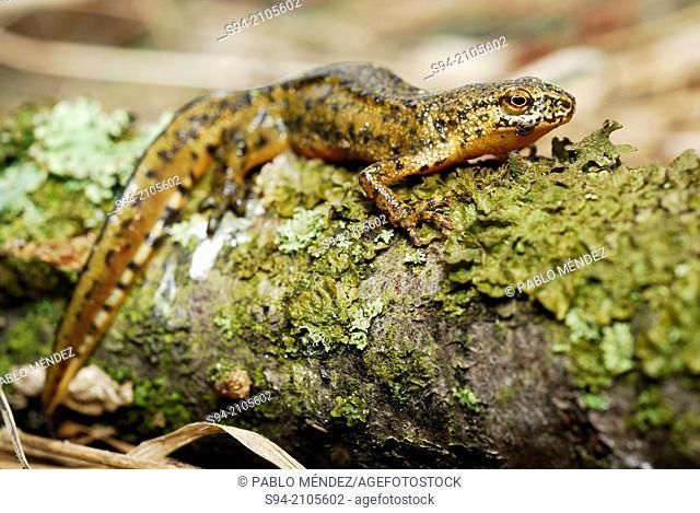 Carpathian newt (Lissotriton montandoni) in a pond near Nizna Revuca, Liptov region, Slovakia