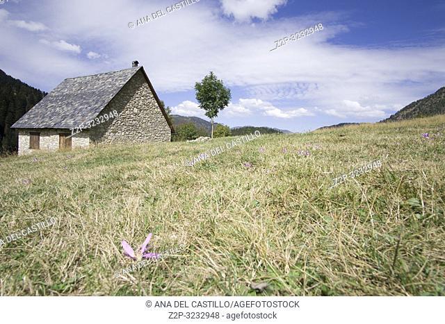 Colchicum autumnale flowers in Bahns de Tredos Pyrenees landscape Aran valley Lleida Catalunya Spain