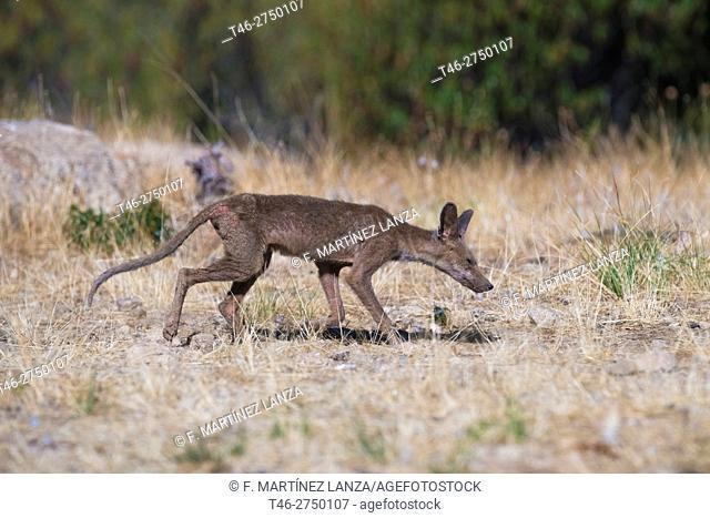 Red fox (Vulpes vulpes), Sierra de Guadarrama, Madrid province, Spain