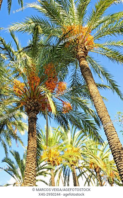 Date palm (Phoenix dactylifera) in the palm forest known as El Palmeral. Elche, Alicante, Spain