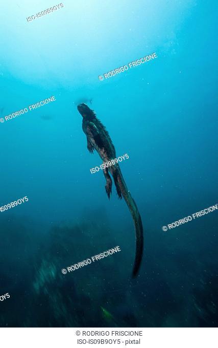 Underwater view of marine iguana, Seymour, Galapagos, Ecuador, South America