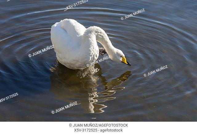 Wild cantor swan. Cygnus Cygnus. Lake Tjörnin. Reykjavik Iceland