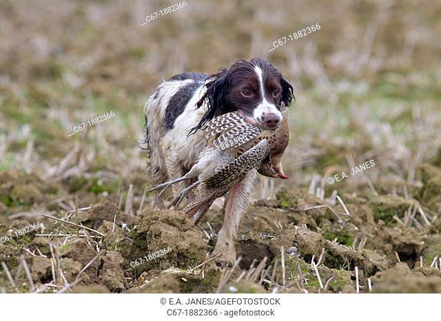 Springer spaniel retrieving pheasant on shoot mid November